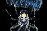 Close up of the deep-sea Pram Bug Hyperiid Amphipod (Phronima) with young in a Salp test. Note the four compound eyes situated on the side of the head.