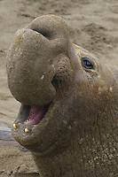A bull elephant seal (Mirounga angustirostris) roars to announce its dominion over his territory. California coast.