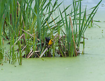 Yellow-headed blackbird searching for food in the wetlands