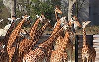 Girafes de l'Ouest (Girafa camelopardalis antiquorum), zone Sahel-Soudan, new Parc Zoologique de Paris, or Zoo de Vincennes, (Zoological Gardens of Paris, also known as Vincennes Zoo), Museum National d'Histoire Naturelle (National Museum of Natural History), 12th arrondissement, Paris, France. Picture by Manuel Cohen