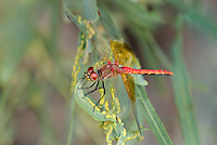 362700027 a wild male band-winged meadowhawk sympetrum semicintum perches on a stick near bishop inyo county california
