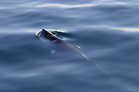 Minke whale ( Balaenoptera acutorostrata ) surfacing in flat calm sea. Bear Island, Barents sea, North East Atlantic