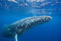 The enormous mother humpback resting on the surface. (Photo by Underwater Photographer Matt Considine)