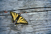 Western Tiger Swallowtail (Papilio rutulus), located in the Upper Peninsula of Michigan on a piece of driftwood.