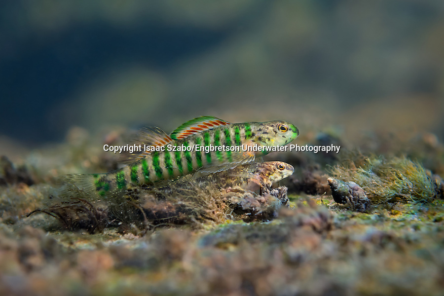 Banded Darter (breeding pair) Isaac Szabo/Engbretson Underwater Photo