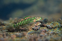 Banded Darter (breeding pair)<br />