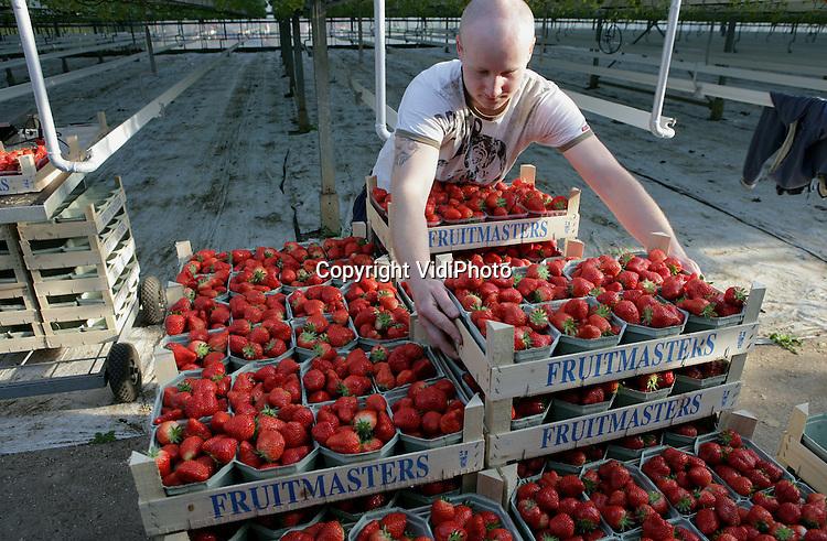 Foto: VidiPhoto..DOORNENBURG - De eerste Nederlandse aardbeien uit de kassen liggen vanaf deze week in de supermarkt. Vroeger dan andere jaren. Aardbeienteler Arno de Beijer uit Doornenburg heeft nog nooit zo vroeg geoogst. Hij is de meeste andere aardbeientelers voor omdat die -opmerkelijk genoeg- gebrek hebben aan koude-uren. Een aardbeienplant heeft koude nodig om de winterrust te doorbreken. De Beijer heeft 'zijn' kou in december al gepakt. Door de beperkte aanvoer zijn de aardbeien nog duur.