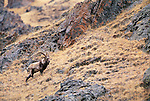 Siberian ibex, Great Gobi Protected Area, Mongolia