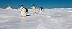 Antarctica Adelie penguin(s)