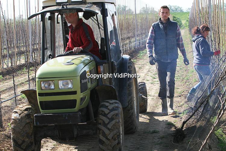 Foto: VidiPhoto..ECHTELD - Personeel van fruitteler Berend-Jan van Westreenen uit Echteld bij Tiel is maandag begonnen met de aanplant van 19.000 jonge fruitbomen. Als eerste gaan de perenboompjes (conference) de grond in. Totaal wordt er 6 ha. fruit bijgezet, ondanks de malaise in de fruitsector. Van Westreenen heeft daarmee 53 ha. fruit. Een deel van bomen bestaat uit nieuwe appelrassen, zoals de populaire en wat duurdere Kanzi. De fruitbomen worden geleverd door Verbeek Boomkwekerijen uit het Brabantse Steenbergen..