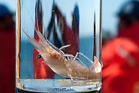 Shrimp in a collecting jar, Bering Sea