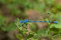 338630001 a wild male springwater dancer damselfly argia plana perches on a small stick in lockhart city park lockhart texas