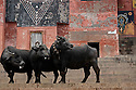 Three buffalo along the banks of the Ganges River, Varanasi, India.
