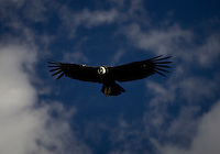 SIERRA DE PAILEMAN, RIO NEGRO, ARGENTINA: CONDOR ADULTO LIBERADO EN A&Ntilde;OS ANTERIORES VUELA SOBRE LA SIERRA DE PAILEMAN..<br /> <br /> Condors released one year ago fly over the jail where  young birds wait to be released in Sierra de Paileman, rio Negro provincie, Argentina..Captive-bred condors are later  released in Andes mountain range as part of a program to fight the extinction of the largest bird of Western Hemisphere, also called the King of the Andes.