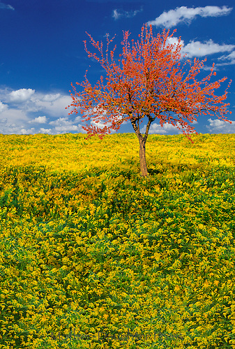 Blooming crab apple tree in a meadow of goldenrod, New England