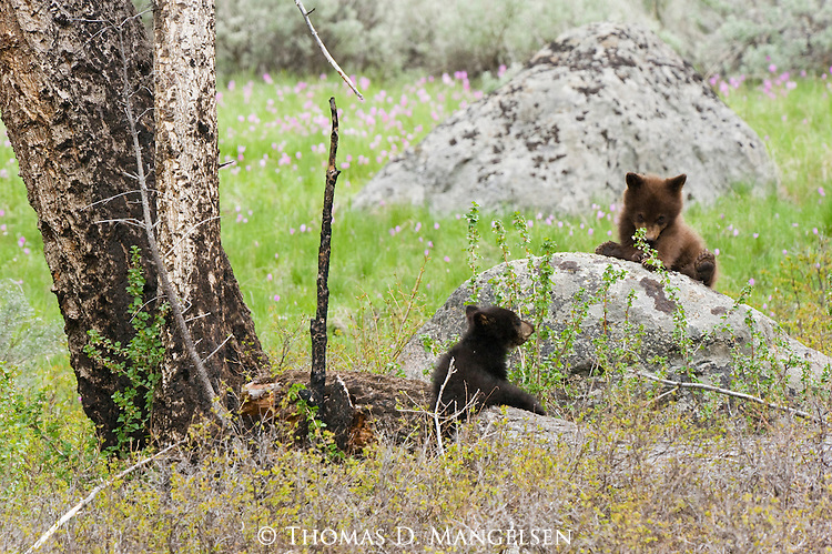 Two black bear cubs playing in Yellowstone National Park, Wyoming.