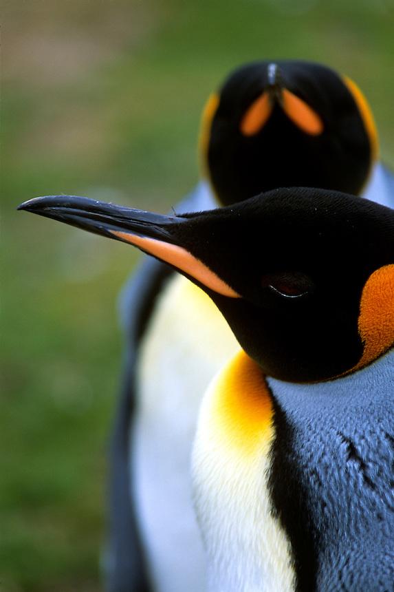 King penguins nest on the Falkland Islands.