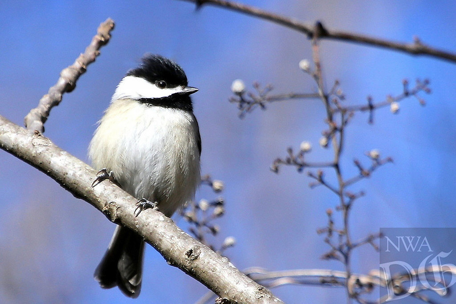 Courtesy photo/PHYLLIS KANE<br /> CHIRPING CHICKADEE<br /> A chickadee roosts on the shore of Lake Fayetteville. Phyllis Kane of Fayetteville took the picture on Jan. 7.