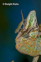 CH49-537z  Veiled Chameleon juvenile climbing on male, Chamaeleo calyptratus