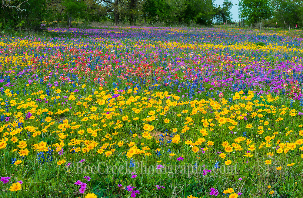 Field of colorful Wildflowers.  Just some of this Spring flowers medley mix includes bluebonnets, coreopsis, indian paintbrush, phlox.  This is a wonderful field of colorful Texas wildflower landscape.