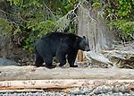 Black bear walking along the shoreline searching for food