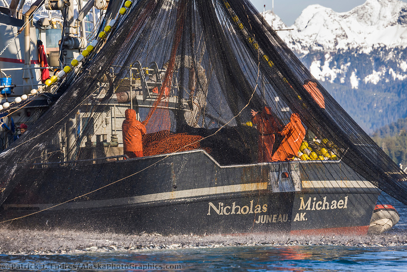 Cape purse seiner commercial fishing vessel Nicholas Michael draws a net full of Pacific Herring tight during the first 2006 Sitka Sac Roe Herring fishery opener on the north side of Middle island in Sitka Sound, March 2006.