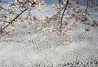 Cherry Blossom Branches &amp; Floating Blossoms in water, Tidal Basin, Washington D.C., District Of Columbia