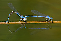 320260002 a wild pair of northern bluets enallagma annexum perch in copula on a cattail reed along piru creek los angeles county california united states