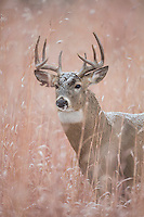 Colorado whitetail buck during the autumn rut