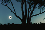 Solar eclipse framed by gum trees