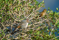 582200002 California Towhee Pipilo crisalis WILD.San Gabriel Mountains, California