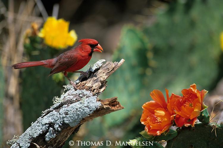 Cardinal (Cardinalis cardinalis) South Texas