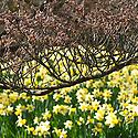 Daffodil (Narcissus 'Wisley') beneath witch hazel (Hamamelis japonica 'Superba'), mid March.