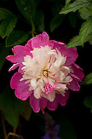 Pink and white bi-colour peony, Larkwhistle Gardens, Bruce Peninsula, Ontario, Canada.