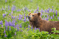 Coastal brown bear in a meadow of lupine wildflowers, Katmai National Park, Alaska Peninsula, southwest Alaska.