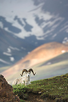 Dall sheep on the ridges of Polychrome pass in Denali National Park, Alaska