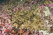 Starry Skate (Raja stellulata) camouflaged on the ocean floor, Barkley Sound, Vancouver Island, British Columbia, Canada, Pacific Ocean.