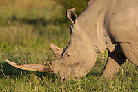 Portrait of a grazing White Rhinoceros