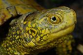 European Pond Turtle (Emys orbicularis), Europe.