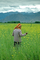 A Tibetan walks through a field of rapeseed (also known as canola in the United States). Rape is a yellow flowering member of the mustard or cabbage family. Rapeseed is one of the leading sources of vegetable oil in the world.