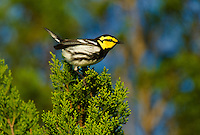 591850047 a wild male golden-cheeked warbler setophaga chrysoparia - was dendroica chrysoparia - an endangered species perches in a pine tree on mike murphy's los ebanos ranch in travis county texas united states