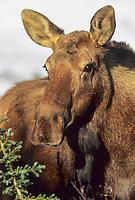 Cow moose portrait, Denali National Park, Alaska