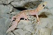 European Leaf-toed Gecko (Euleptes europaea), the smallest European Geckos, Europe.
