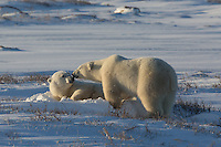 Arctic - Wildlife