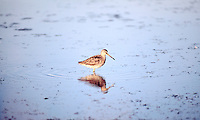 ANIMALS<br /> Sandpiper<br /> Cape May, NJ shorebird Calidris alba or sanderling