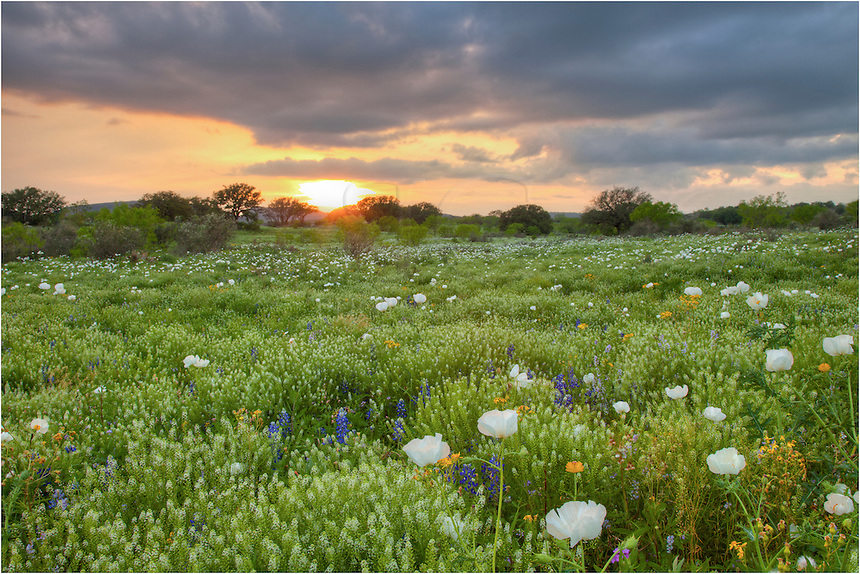 While traversing the backroads of the Texas Hill Country, I stopped at sunset to photograph this field of wildflowers - this time a white poppy field. This photo was taken just west of Marble Falls.