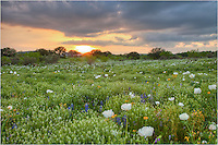 This picture of Texas Wildflowers comes from just west of Marble Falls - a sunset over a White Poppy Field.