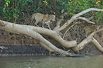 A jaguar mating pair walk on a log at the fork of the Cuiaba and Picuiri Rivers in the Pantanal of Brazil.