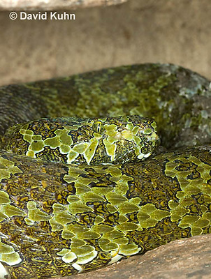 0430-1111  Mang Mountain Pit Viper (China Mangshan Pitviper), Only Non Cobra that Can Spit Venom, Zhaoermia mangshanensis (syn. Trimeresurus mangshanensis)  © David Kuhn/Dwight Kuhn Photography