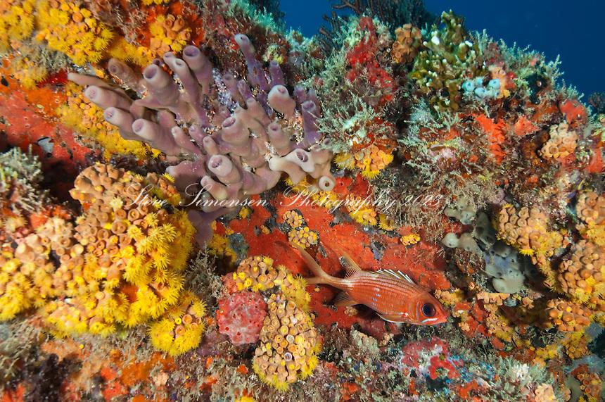 Squirrelfish on a colorful reef at Congo Cay<br /> U.S. Virgin Islands